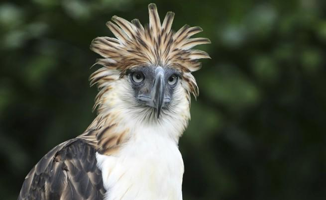 Филипинският орел е на 8 място в списъка. Той се нарича още орел маймунояд