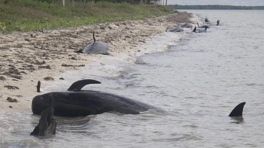 Гигантски делфини мрат край бреговете на Флорида
