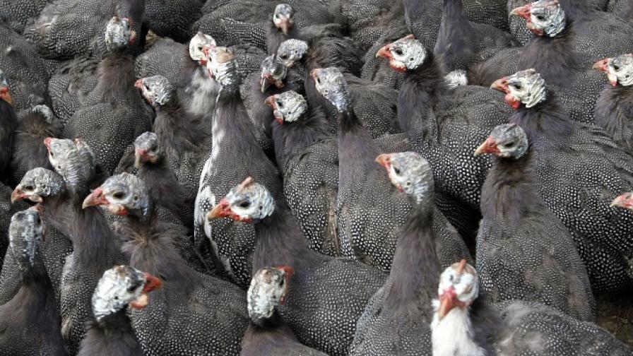 Кожата на пуйките може да спаси живот