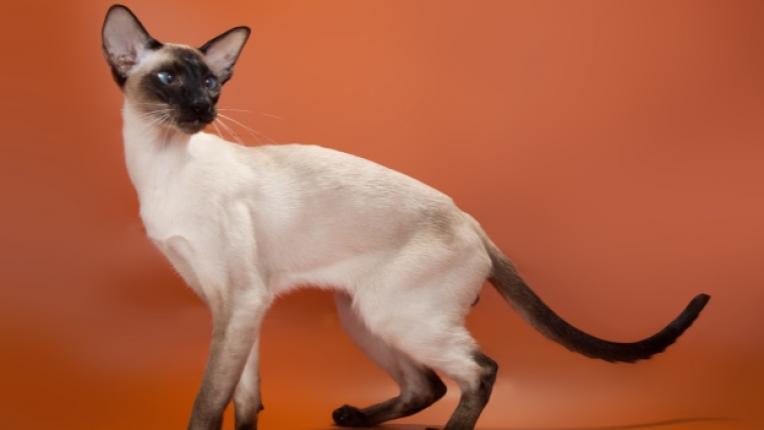 котки изложба порода домашни любимци благотворителност форум животни