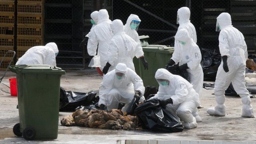 В Хонконг умъртвяват хиляди пилета заради вируса H7N9