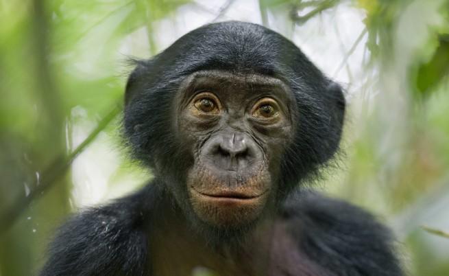 Шимпанзетата планират закуските си