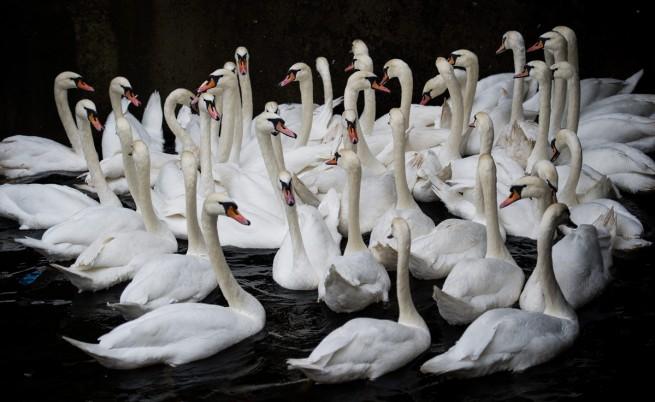 Ню Йорк обявява война на лебедите