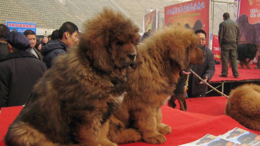 Тибетски мастифи