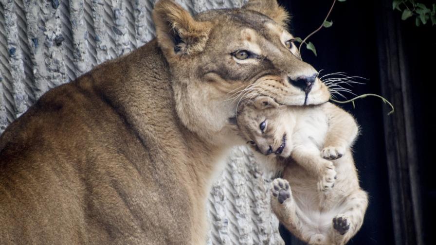 """Зоопаркът в Копенхаген """"приспа"""" четири здрави лъва"""