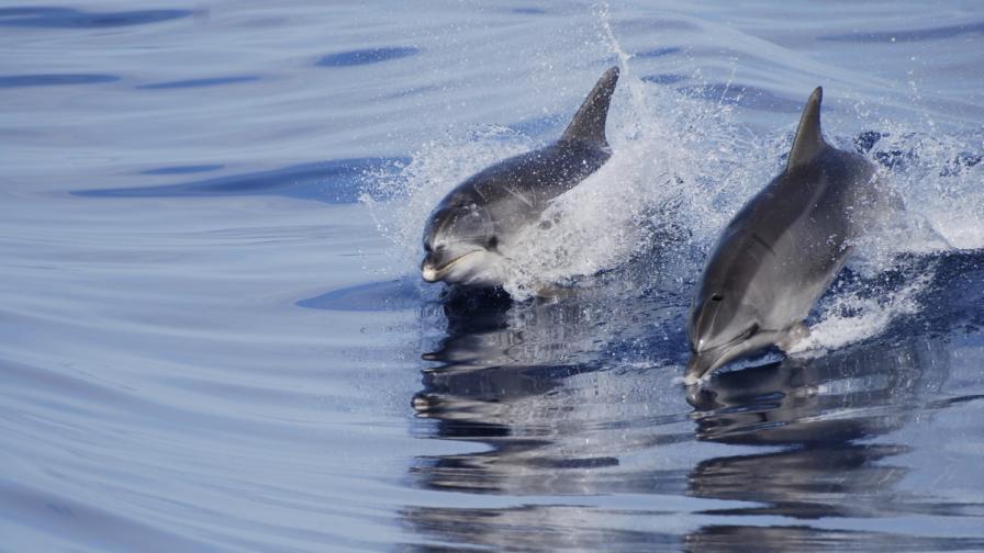Украински военни делфини отиват в руския флот