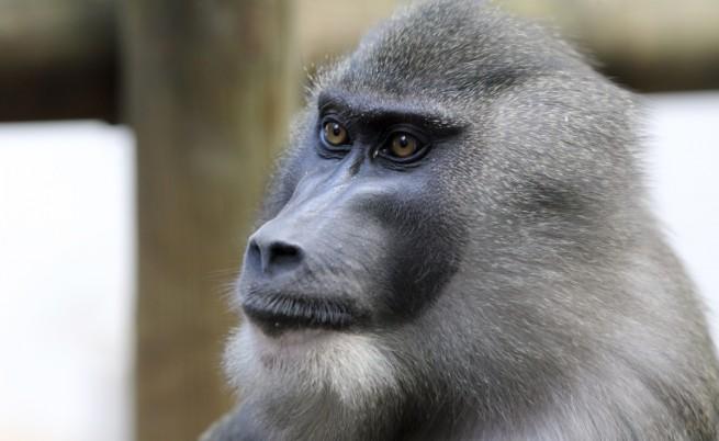 Маймуна дрил