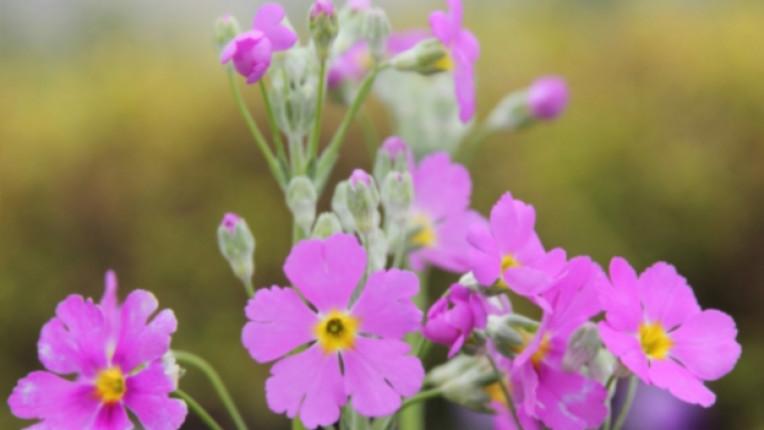 иглика цвете