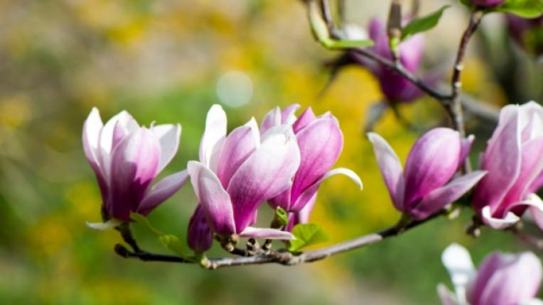 магнолия цвете