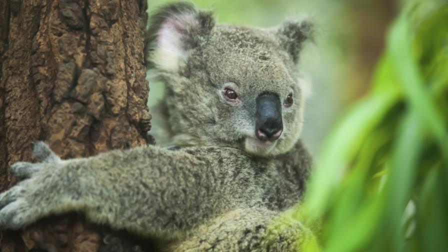 Откриха защо коалите прегръщат дърветата