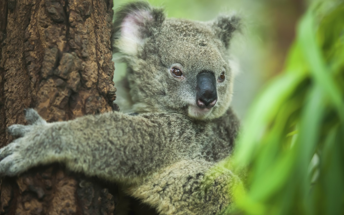 <p><strong>Пръстови отпечатъци</strong></p>  <p>Тези сладки торбести австралийски животинки се хранят изключително само с евкалиптови листа. Но наистина уникалният аспект на това животно е, че има пръстови отпечатъци, които са почти идентични с човешките.</p>