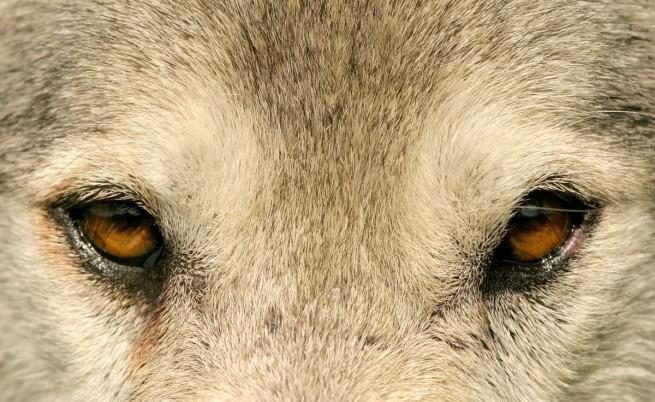 Вълците и кучетата си говорят с очи