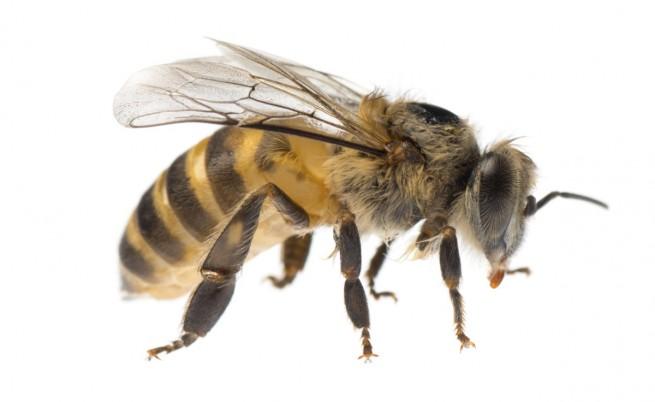 Четири пчели се настаниха в окото на жена