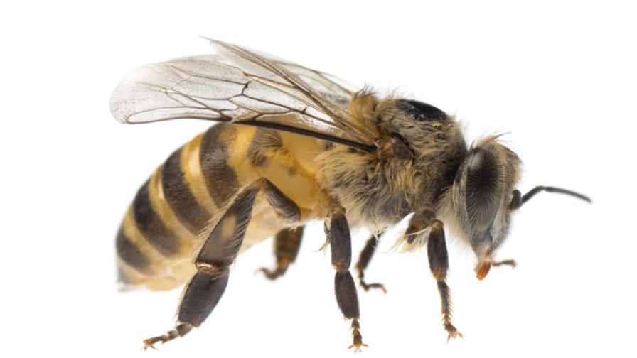 <p>Четири пчели се настаниха в окото на жена</p>