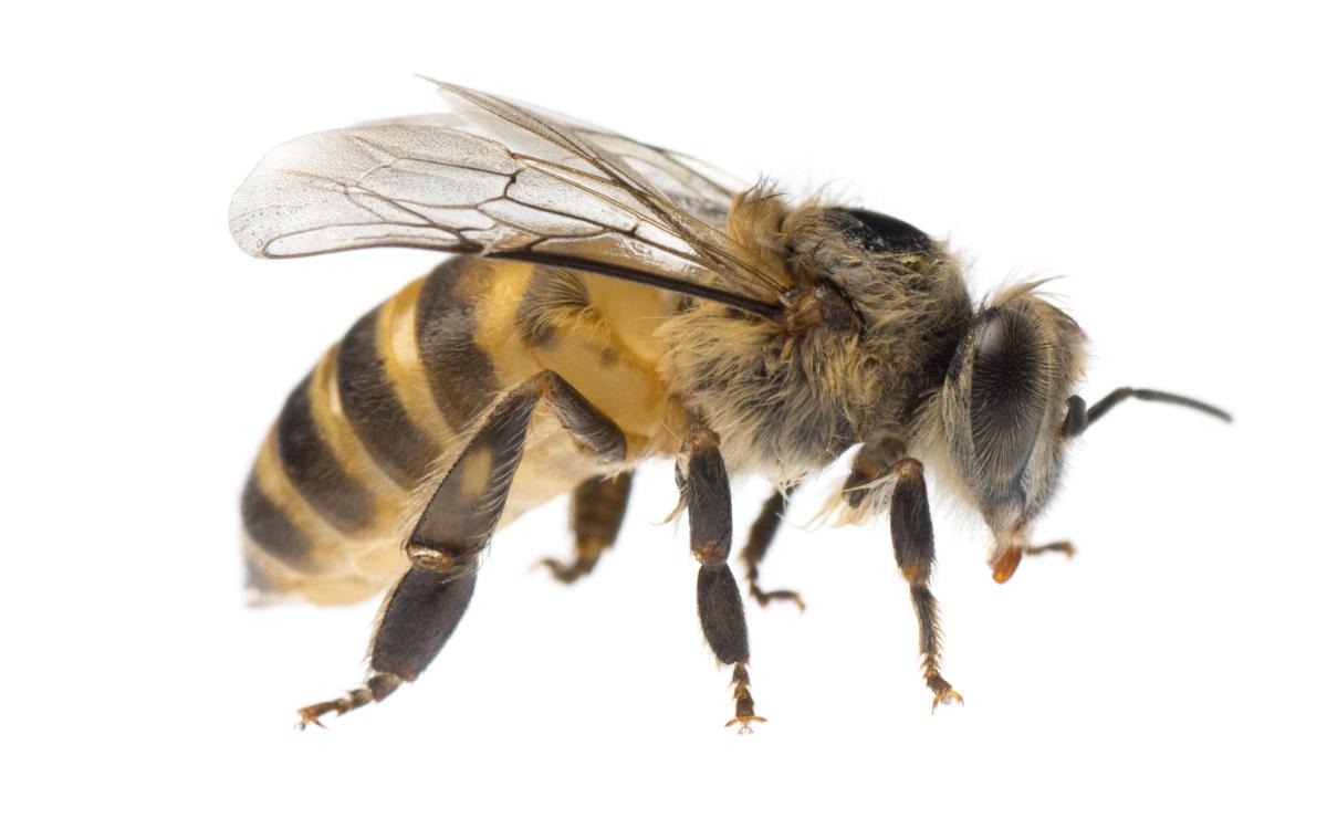 Опасността от смърт от ужилване от стършел, оса или пчела е 1 към 63225.