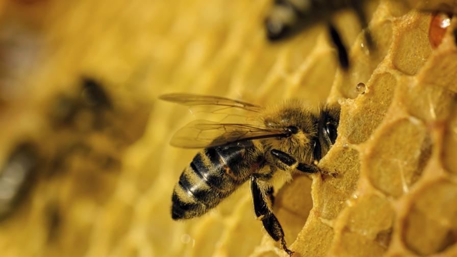Роботи-пчели ще се опитат да спасят колапса на вида