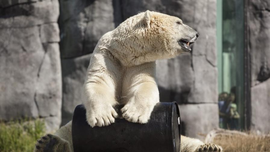 Най-тъжният мечок - стар, самотен и в гореща страна