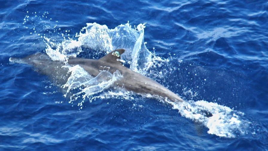 В Турция намериха мъртъв двуглав делфин