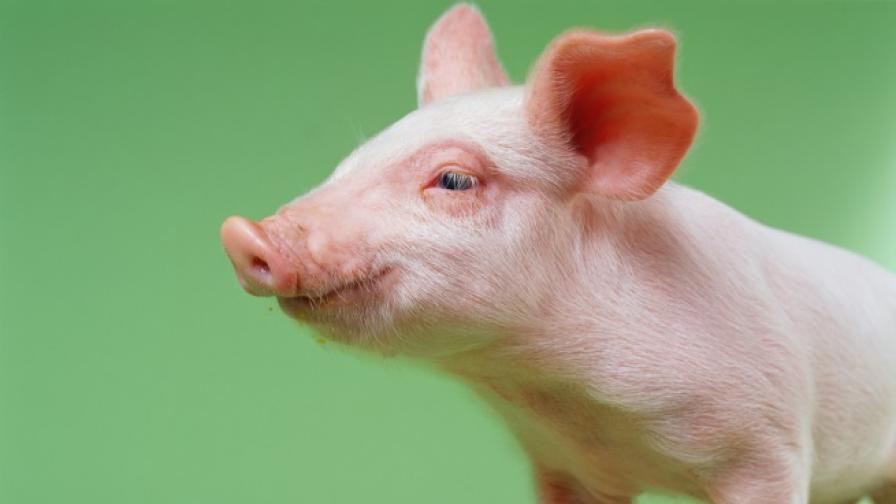 Пенелъпи - най-глезеното прасе в света