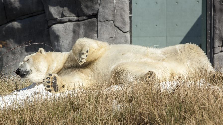 Почина последният бял мечок в Африка