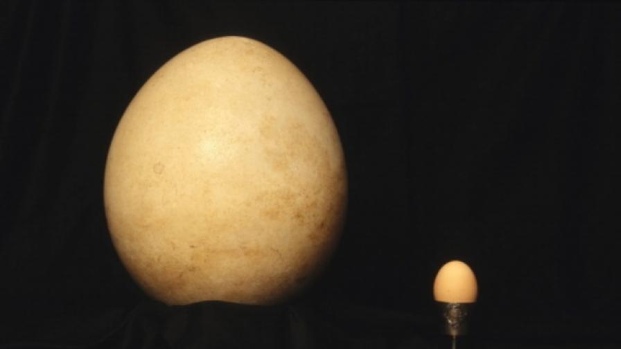 На търг: най-голямото яйце от слонска птица