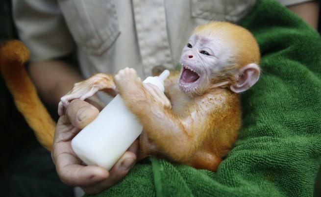 Би Би Си: Маймуна стана акушерка