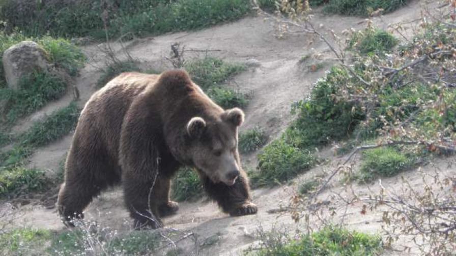 Гумени куршуми срещу мечката, вилнееща в Карловско