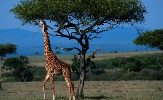 Жирафите са подложени на