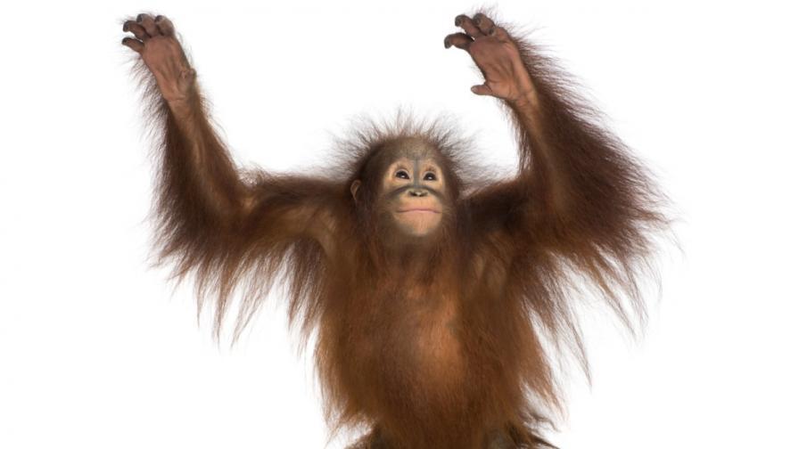 Аржентински съд даде човешки права на орангутан