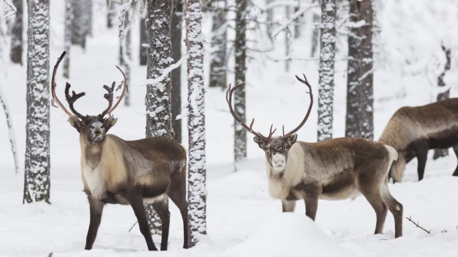Стадо елени на пътя - опасно ли е (видео)