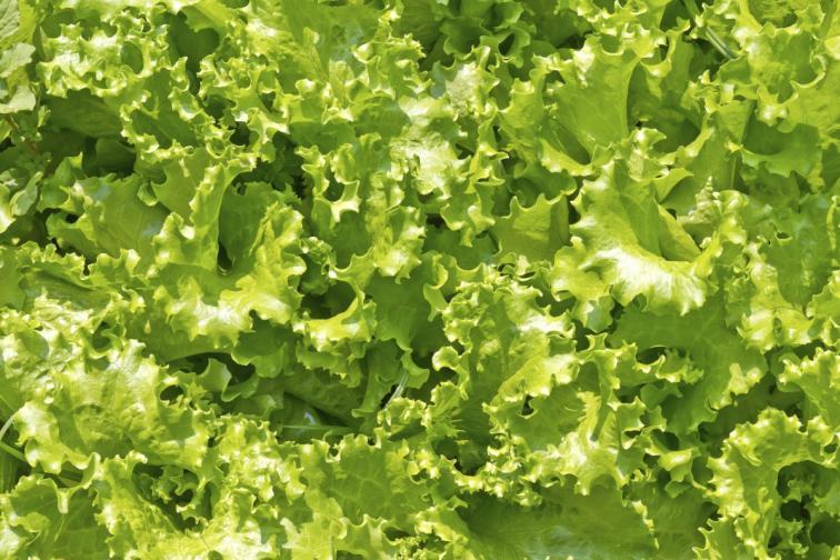 маруля зелена салата