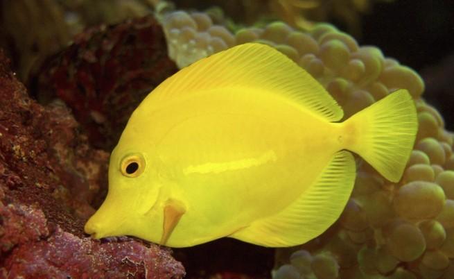 Риба Танг