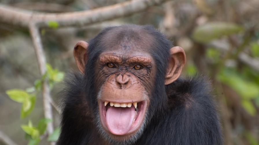 Зоопарк пести от чистач, използва шимпанзе