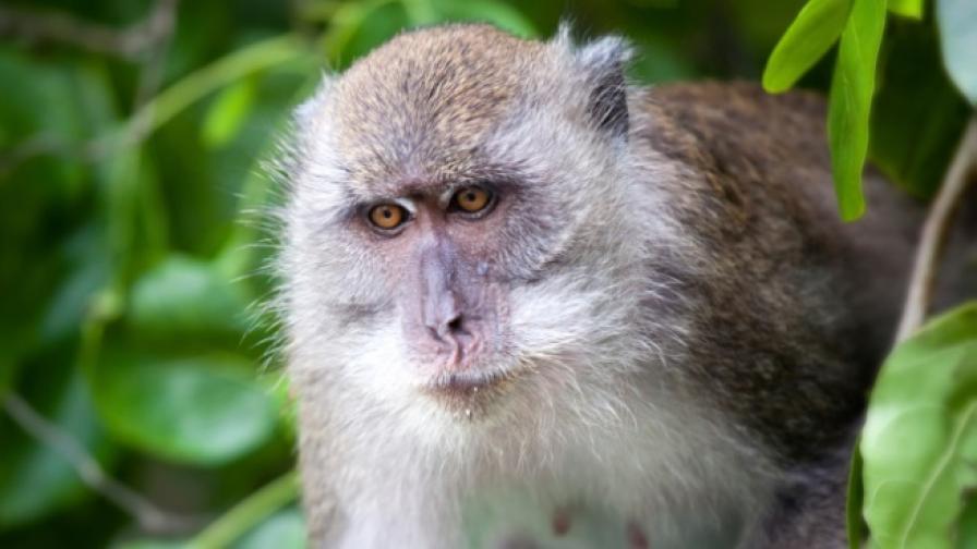 Ексцентрично: Маймуни охраняват богаташки сватби