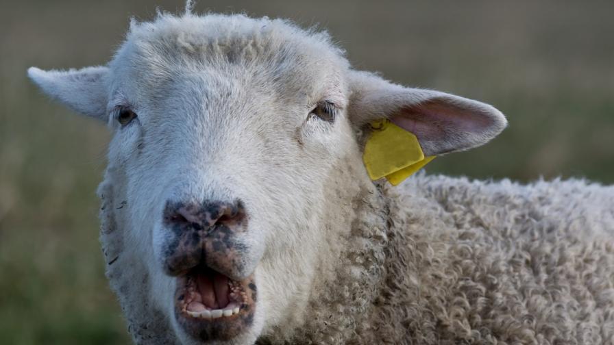 Овчар и стадото му – заплаха за базата на САЩ в Румъния