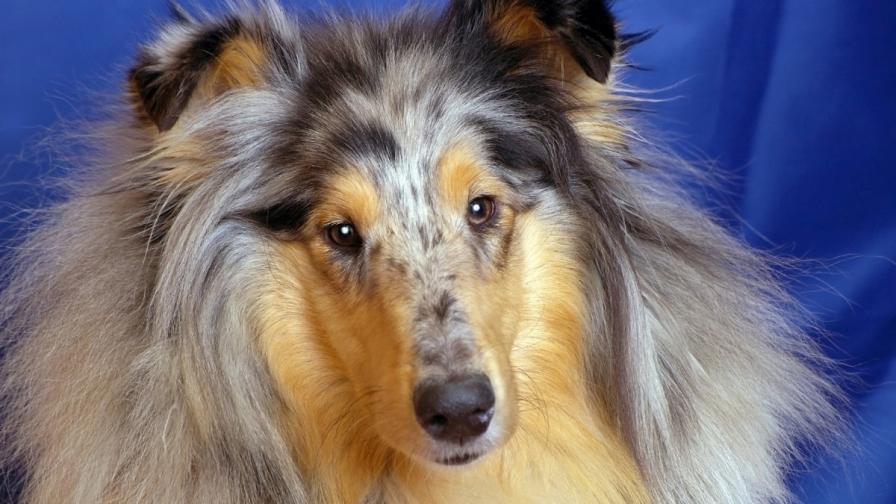Кучетата могат да четат емоцията на човешкото лице