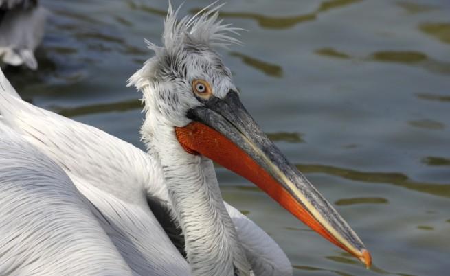 Птичи грип е убил пеликаните в