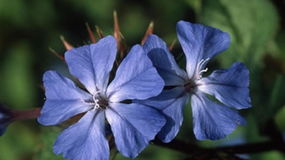 Цветето Сerato (Зъбна трева; Цератостигма)