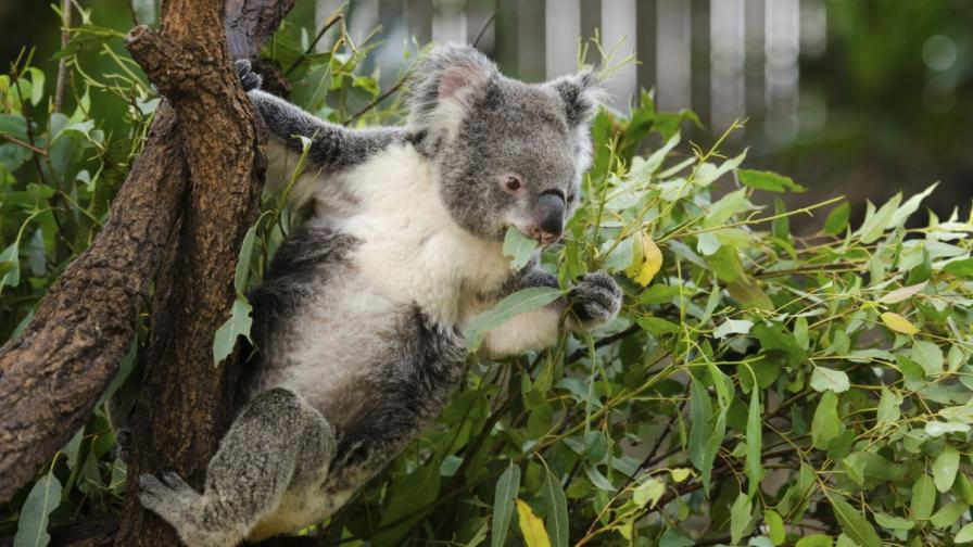 Евтаназирали коали в Австралия, за да не умрат от глад