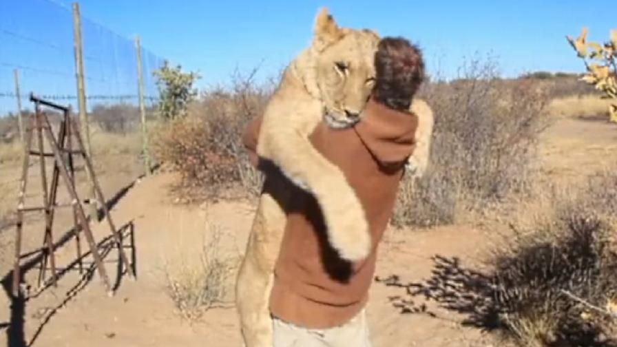 Лъвска прегръдка всеки ден (видео)