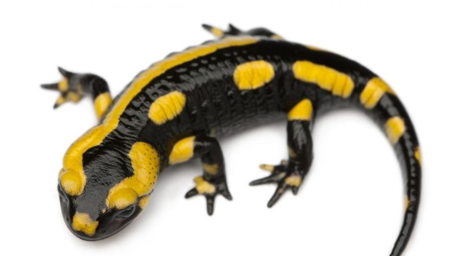 Съвременен саламандър