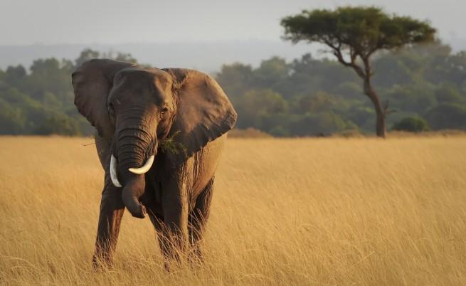 Могат ли слоновете да надушват бомби?