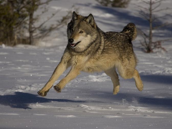 лос мечка вълк йелоустон гейзер