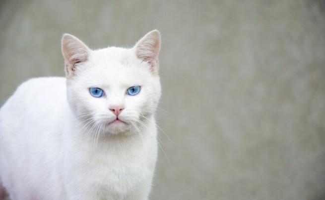 Ген причинява глухота на синеоките бели котки