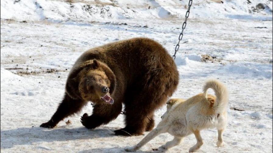 Жестокост или спорт: състезание за кучета в Русия?