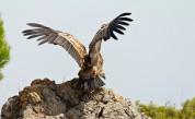 Бракониери в България застреляха една от най-редките птици