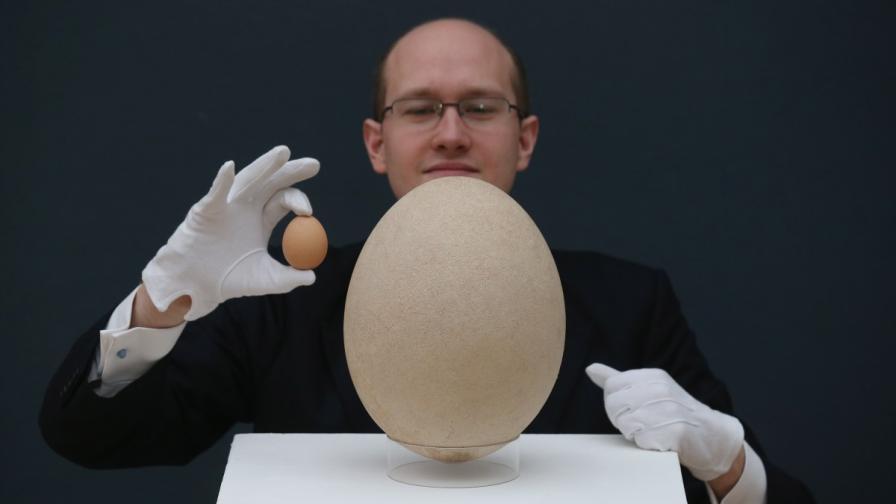 Предлагат на търг рядко яйце от слонска птица