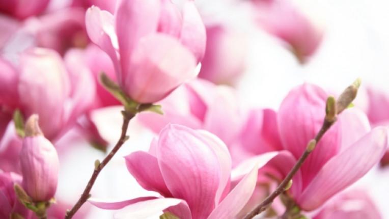 магнолия магнолии цвете аромат