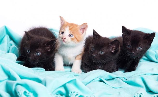 Топ 5 най-известни породи котки