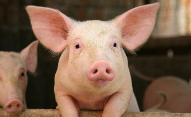 Трансплантациите на органи от прасета са още по-близо